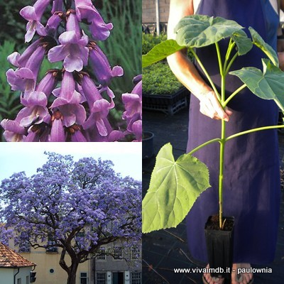 PAULOWNIA TOMENTOSA Paulonia Empress Tree Princess Tree -<b>vaso quadro</b> -altezza 30-50 cm